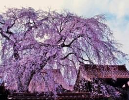 【桜・見ごろ】極楽寺