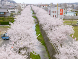 【桜・見ごろ】会下谷川