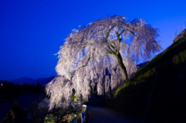 【桜・見ごろ】岩太郎のしだれ桜