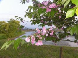 【桜・見ごろ】嶋町菊桜
