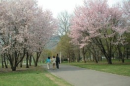 【桜・見ごろ】北海道立真駒内公園