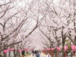 満開の桜のもとで「はつかいち桜まつり」