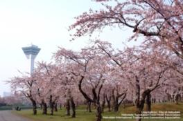 【桜・見ごろ】五稜郭公園