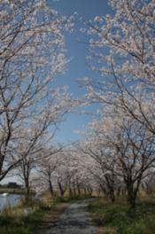 【桜・見ごろ】吉野公園