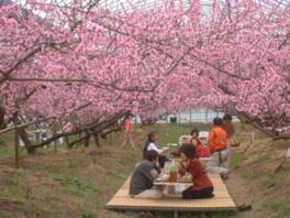 佐賀大和観光桃園 桃のお花見
