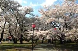 すすきヶ原入野公園 桜まつり