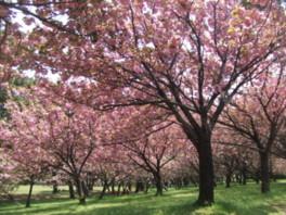 【桜・見ごろ】浜寺公園