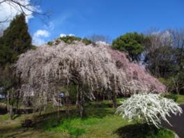 【桜・見ごろ】服部緑地