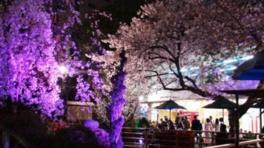 浅草花やしき 夜桜イルミネーション