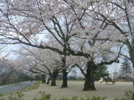 【桜・見頃】一の谷公園