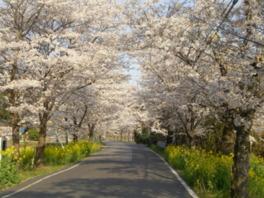 【桜・見頃】太平山