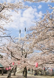 【桜・見頃】太田山公園