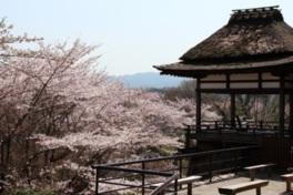 【桜・見頃】石山寺