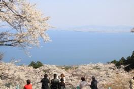 【桜・見頃】びわ湖バレイ