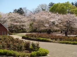 【桜・見頃】与野公園
