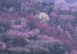 【桜・見頃】花見山公園