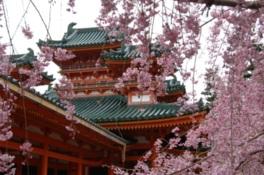 【桜・見頃】平安神宮 神苑