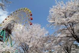 【桜・見頃】華蔵寺公園