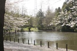 【桜・見頃】智光山公園「桜の園」
