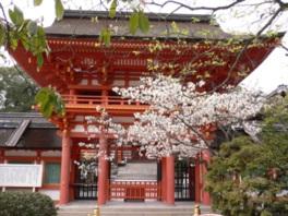【桜・見頃】上賀茂神社