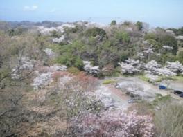 【桜・見頃】眉山公園