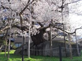 【桜・見頃】石割桜