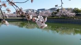 【桜・見頃】エブノ泉の森ホール周辺