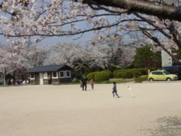 【桜・見頃】桂公園