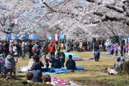 【桜・見頃】城跡歴史公園