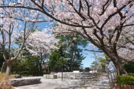 【桜・見ごろ】西公園