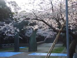 【桜・見ごろ】比治山公園