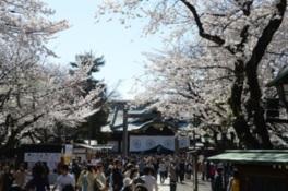 【桜・見ごろ】靖国神社