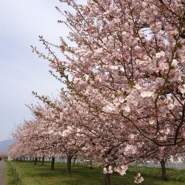 【桜・見ごろ】千曲川河川公園