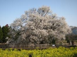 第20回 南阿蘇桜さくら植木まつり
