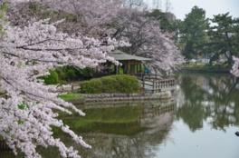 【桜・見頃】亀城公園
