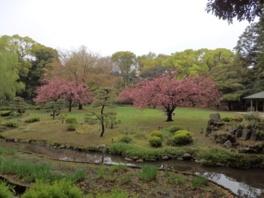 【桜・見頃】清澄庭園