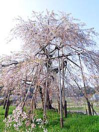 【桜・見ごろ】畑のしだれ桜