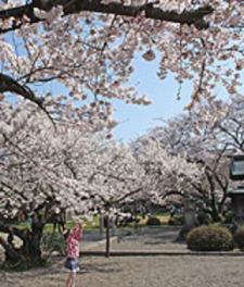 【桜・見ごろ】藤栄神社