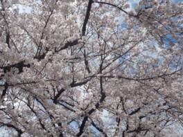 柴島浄水場 桜並木の通り抜け
