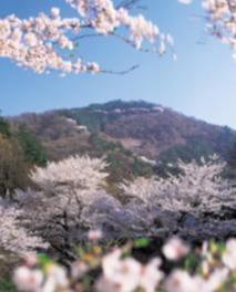 【桜・見頃】山の神千本桜
