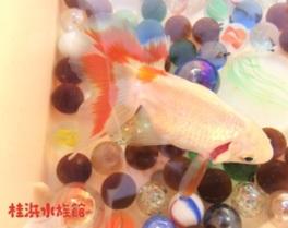 3月特別企画「金魚展」