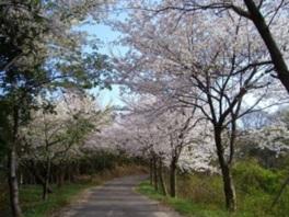 【桜・見ごろ】真道山千本桜
