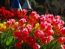 【花・見ごろ】国営武蔵丘陵森林公園の早咲きチューリップ