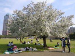 【桜・見ごろ】幕張海浜公園