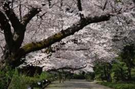 都立神代植物公園 椿・さくらまつり