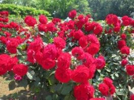 神代植物公園「春のバラフェスタ」