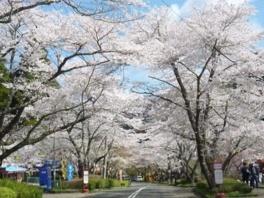 【桜・見頃】寺尾ヶ原千本桜公園