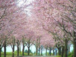 垂水公園桜まつり