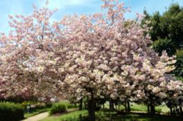 【桜・見ごろ】県立鳥屋野潟公園・鐘木地区 サトザクラ・ヤマザクラ