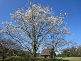 【花・見ごろ】八雲立つ風土記の丘 春の花